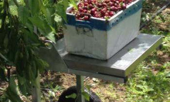 CroppedImage350210-Cherries-Being-Weighed-on-FairPick-Orchard-Scale.jpg